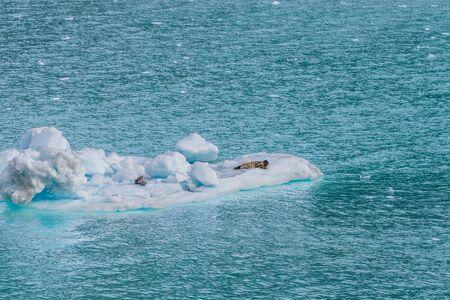 Alaska glacier bay harbor seals sleeping on tidewater glaciers ice floating on blue sea. Cruise ship to Glacier Bay National Park.