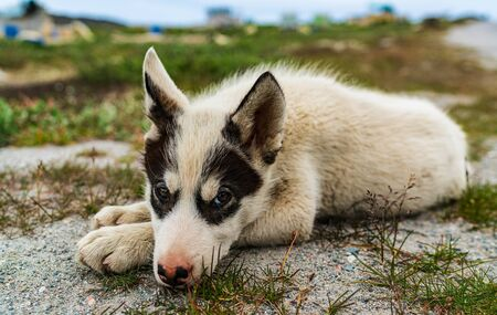 Greenland dog - a husky sled dog puppy in Ilulissat Greenland. Juvenile dog sled dog cute and adorable looking at camera in summer nature landscape on Greenland. Stok Fotoğraf