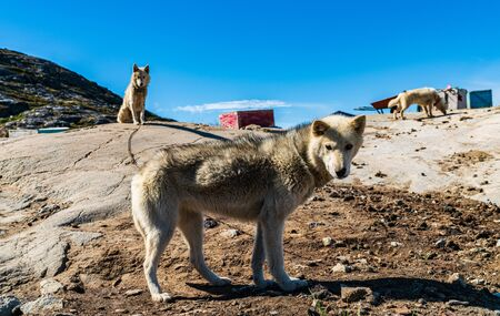 Greenland dogs - husky sled dog in Ilulissat Greenland. Greenlandic dog sled dog in summer nature landscape on Greenland.