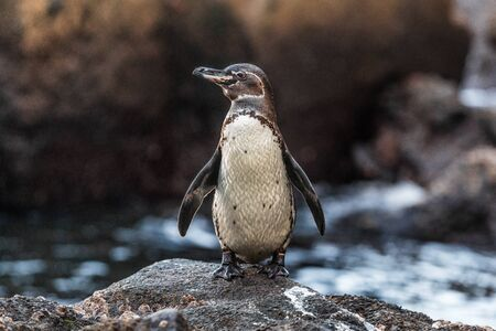 Galapagos Penguin on Galapagos Islands standing on land - Endangered species on Isabela Island. Amazing bird animals wildlife nature of Galapagos, Ecuador.