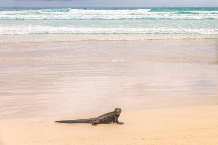 Galapagos Marine Iguana walking on Tortuga bay. Marine iguanas on beach on Santa Cruz Island, Galapagos Islands. Animals, wildlife and beautiful nature landscape in Ecuador, South America.
