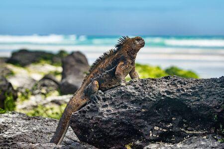 Iguana de Galápagos calentándose al sol descansando sobre una roca en la playa de Tortuga Bay, Isla Santa Cruz. La iguana marina es una especie endémica de las Islas Galápagos. Animales, vida silvestre y naturaleza del Ecuador.