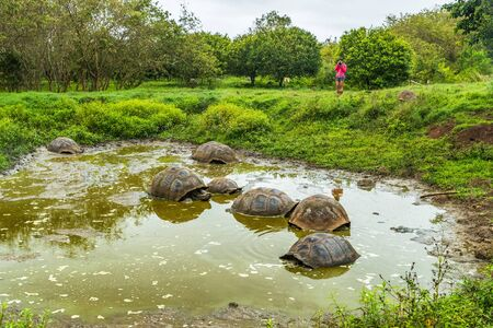 Galapagos Giant Tortoise on Santa Cruz Island in Galapagos Islands. Ecotourism tourist looking at group of many Galapagos tortoises cooling of in water hole. Animals and nature in Galapagos highlands.