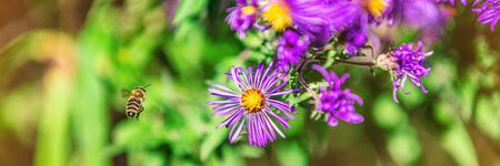 Bee flying to purple aster flower to pollinate in autumn fall garden nature background. Bees, flowers copy space panoramic banner.