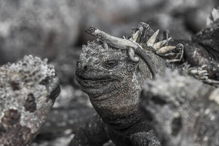 Galapagos funny animals - Marine Iguana with lava lizard on its head in the sun on Fernandina Island Espinoza Point. Amazing wildlife animals on Galapagos Islands, Ecuador. Banco de Imagens - 131652237