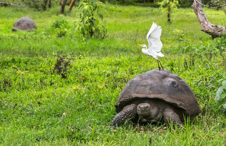 Animals. Galapagos Giant Tortoise with egret bird, on Santa Cruz Island in Galapagos Islands. Animals, nature and wildlife close up of tortoise in the highlands of Galapagos, Ecuador, South America.