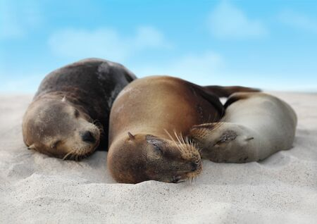Sea Lions in sand lying on beach on Galapagos Islands - Cute adorable Animals. Animal and wildlife nature on Galapagos, Ecuador, South America.