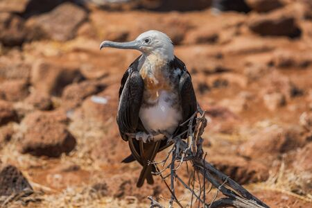 Frigatebird on Galapagos islands. Female Magnificent Frigate-bird on North Seymour Island, Galapagos Islands.