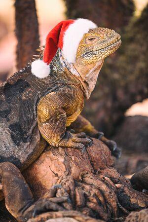 Galapagos Christmas Concept - Funny image of Iguana wearing Santa hat, aka fake Christmas Iguana. From North Seymour Island Galapagos Islands cruise ship tour. Santa hat is photoshopped on Iguana.