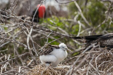 Frigatebird on Galapagos islands. Juvenile Magnificent Frigate-bird chick in birds nest, North Seymour Island, Galapagos Islands. Male frigate bird with inflated red neck gular pouch in background