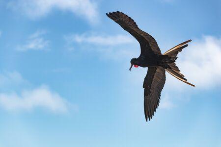 Frégate sur les îles Galapagos en vol. Frégate magnifique-oiseau en vol sur l'île Seymour Nord, Galapagos. Une frégate mâle avec poche gulaire à cou rouge (sac thoracique).