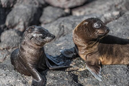 Galapagos animals - Baby Galapagos Sea lions pups at Punta Espinoza, Fernandina Island, Galapagos Islands. Amazing wildlife and nature display with many endemic species. 免版税图像