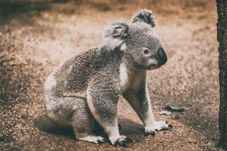 Koala wildlife animal in Australia