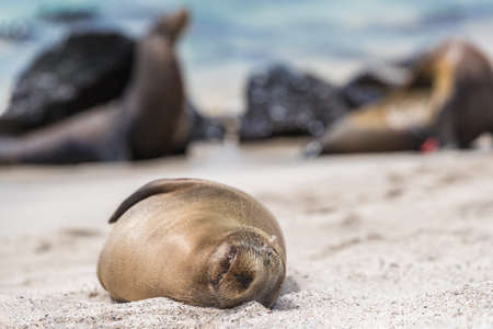 Galapagos Sea Lion in sand lying on beach. Wildlife in nature, animals in natural habitat.