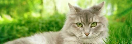 Cat with green eyes and grey fur in summer grass outdoor banner panorama. Grey long hair Ragdoll with green eyes.