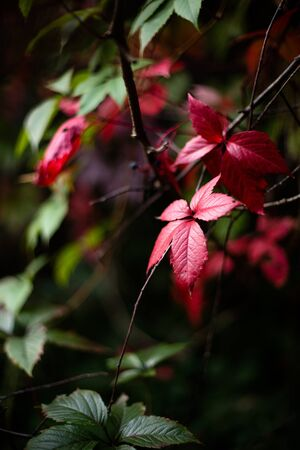 beautiful floral outdoor picture with wild grape colored leaves , autumn card, fall leaves, selective focus