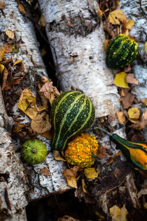 harvesting outdoor still life with assorted green and orange pumpkins in autumn forest stands on birch logs