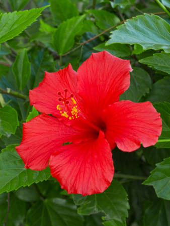 Beautiful red hibiscus flower surrounded by lush green leaves