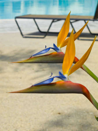 A photograph of two perfect Bird of Paradise flowers