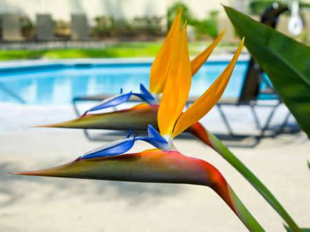 A photograph of two perfect Bird of Paradise flowers with a pool and chair in the background.  Stock Photo