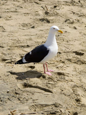 This is a photograph of a lone Seagull on the sandy beach of Newport Beach, California. photo