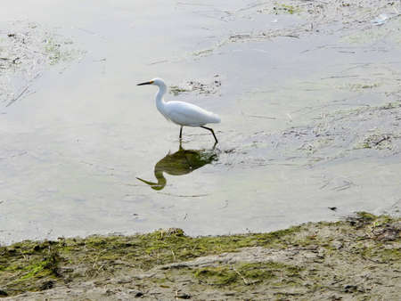 chica: A Snowy Egret at Bolsa Chica Ecological Reserve.