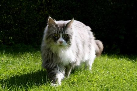 maincoon cat Stock Photo - 8391892