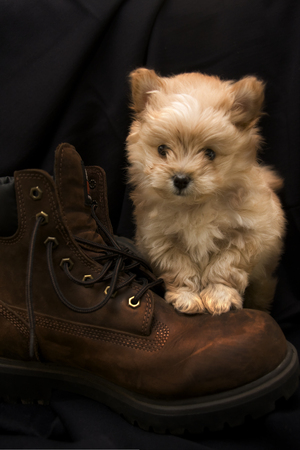 Puppy Standing on a Boot 写真素材