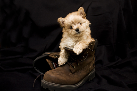 Puppy in a Boot 写真素材