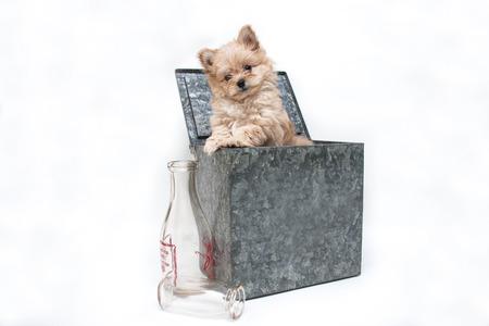 Puppy in a Milk Box