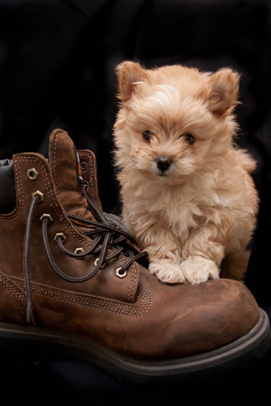 Puppy on Boot 写真素材