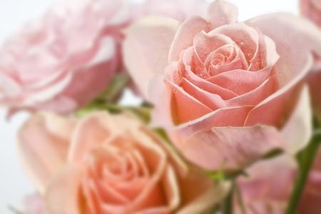 Pink Roses 写真素材