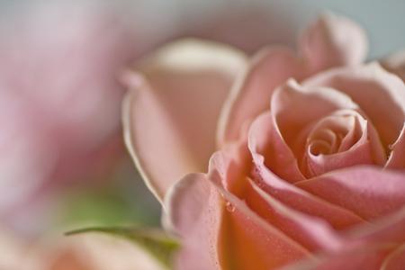 Pink Rose close-up 写真素材