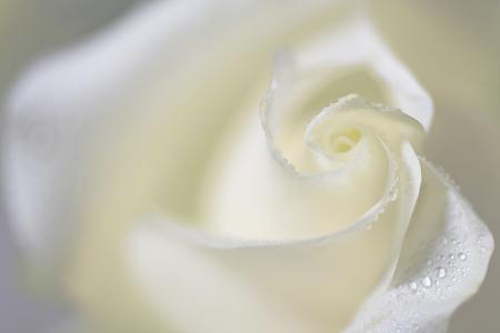 Soft White Wedding Rose