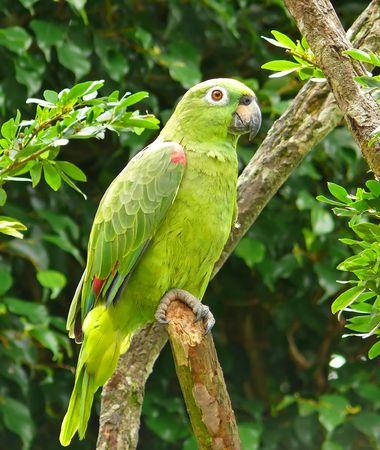 Een meelachtig Amazone papegaai in het Amazone regenwoud, Ecuador.