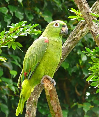 loros verdes: Un loro Amazona farinosa en la selva amaz�nica, Ecuador.  Foto de archivo