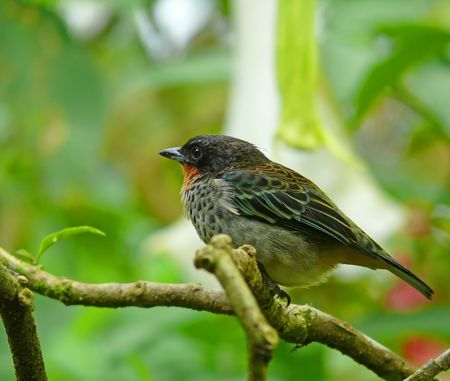 A rufous-throated tanager in the cloud forest, Ecuador.