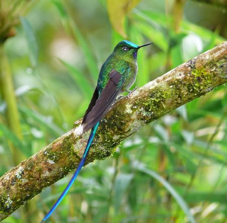 A violet-tailed sylph hummingbird taken in the cloud forest in Ecuador.