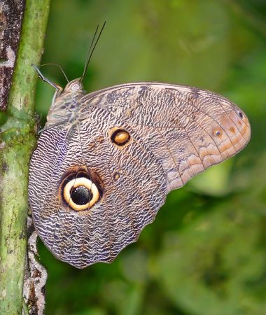 The underside wings of a blue morpho butterfly in the Amazon rainforest in Ecuador. photo