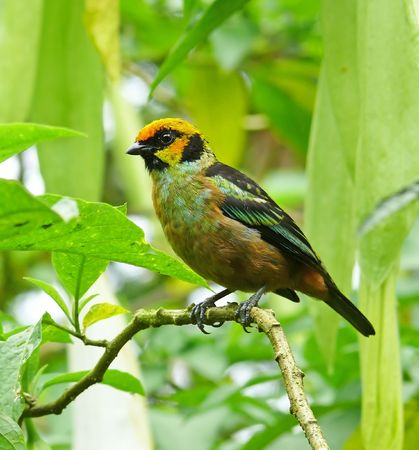 A stunning example of a Flame-Faced Tanager taken in the cloud forest in Ecuador. Stock Photo - 3011760