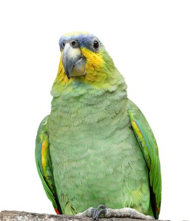 An Orange-Winged Amazon parrot from the Amazon rainforest in Ecuador, isolated on a white background.