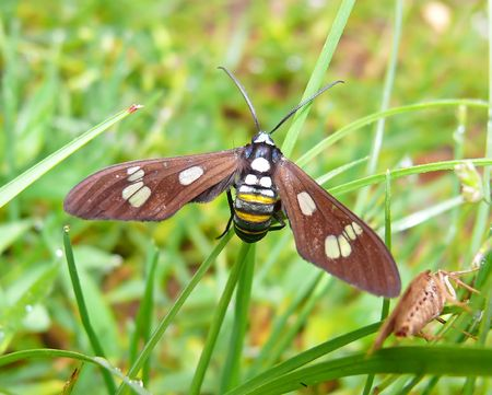 A moth mimicking a bee, Stock Photo