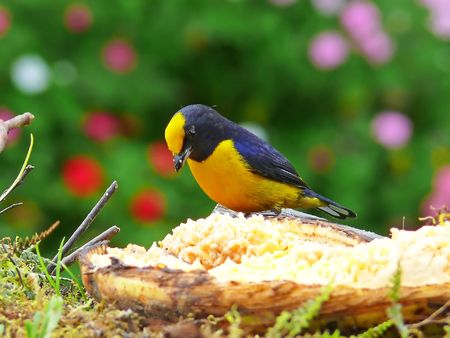 finch: A beautiful Orange-Bellied Euphonia (bird) photographed in the cloud forest in Ecuador. This bird is now in the finch family - it was formerly considered a tanager. Stock Photo