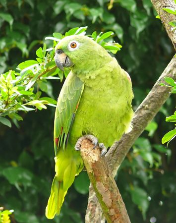 A Mealy Amazon parrot in the Amazon rainforest, Ecuador.