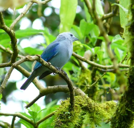 Blue-grey tanager in the cloud forest in Ecuador.