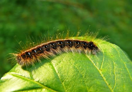 An Eastern Tent caterpillar photographed in woodland in Maryland. Stock Photo