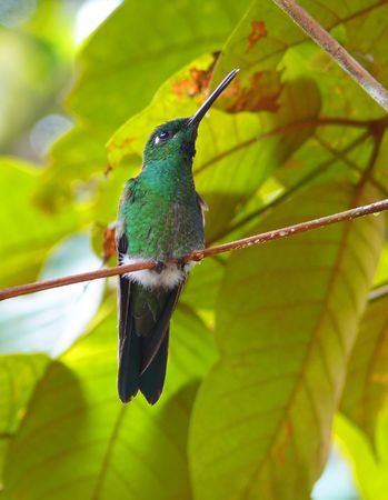 A Green-Crowned Brilliant hummingbird in the cloud forest in Ecuador. Stock Photo - 3020169