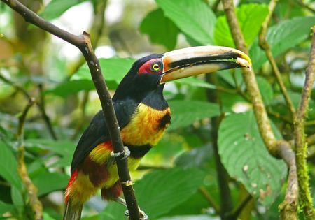 comiendo platano: A Pale-mandibled aracari en el bosque nublado, el Ecuador. �l est� comiendo banana. Foto de archivo
