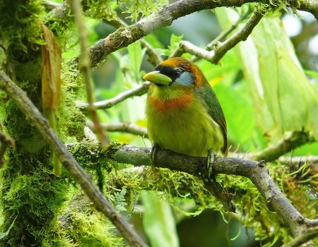 A stunning Red-Headed Barbet in the cloud forest in Ecuador. It is in the toucan .