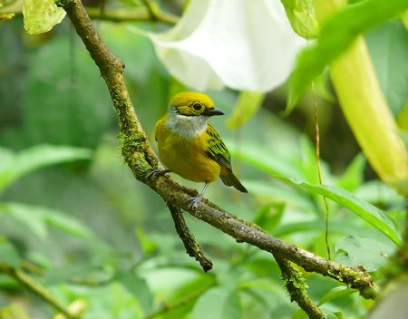 silver perch: A Silver-throated tanager in the cloud forest, Ecuador. Stock Photo